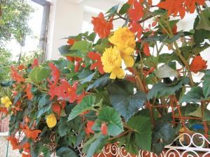 Begoniile aduc în grădini veselia culorilor strălucitoare