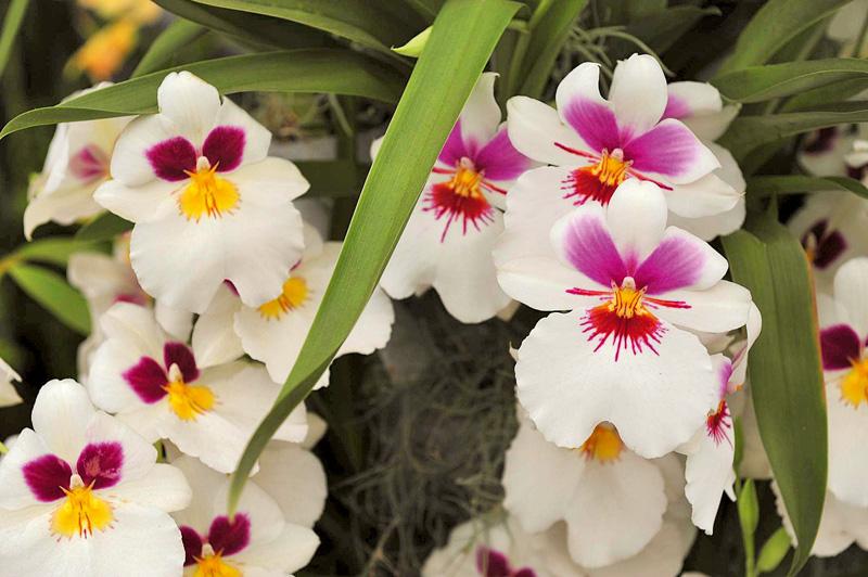 orhidee albe