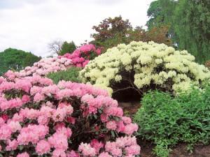 rododendroni diverse culori