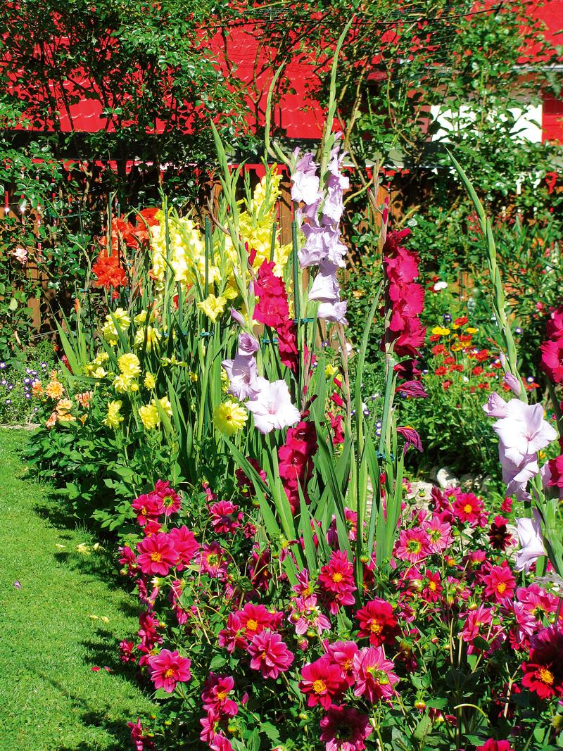 combinatii florale dalii pitice si gladiole in gradina