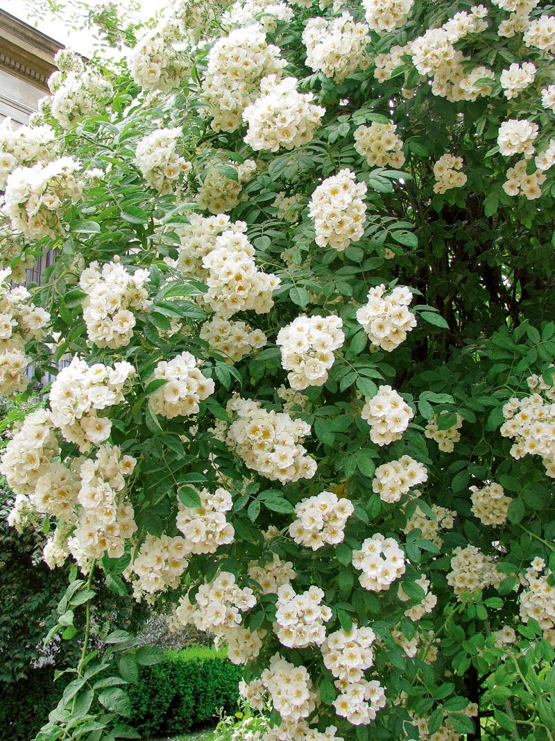 trandafirii trandafir Thalia