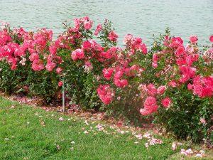 trandafirii trandafiri arbusti