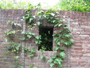 zid din caramida cu plante cataratoare