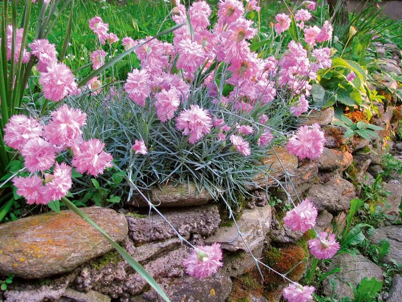 flori garofite perene