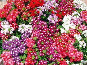 flori verbine