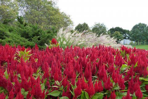 Plantele cu flori pufoase sunt prezențe grațioase și de efect