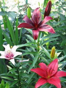 Crinii cu flori superbe, buni pentru colecționari