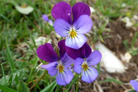 Flori frumoase, de la munte