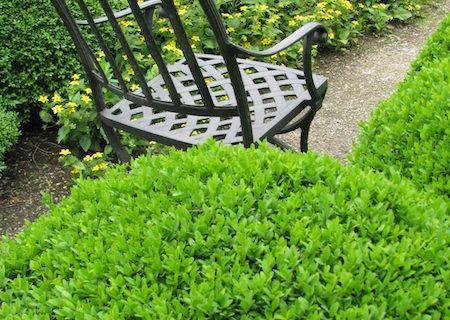 Buxus prin grădini și pe terase