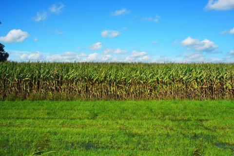 Semințe de plante furajere pentru agricultură